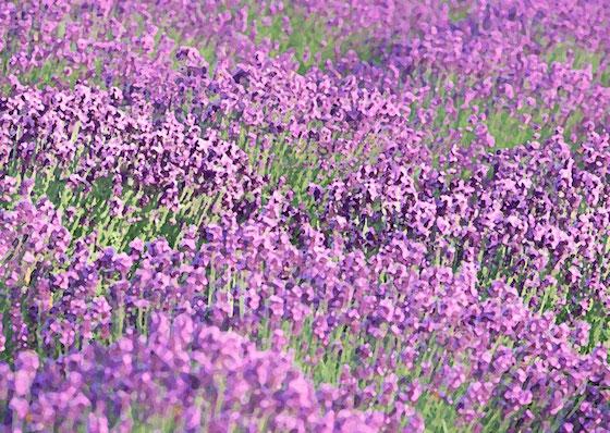 lavendercolar